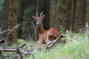 whinlatter-deer1