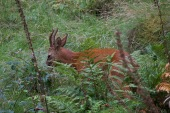 whinlatter-deer2