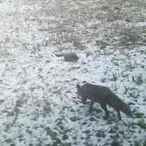 trailcam_02_fox_2