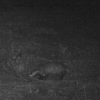 trailcam_07_badger_1