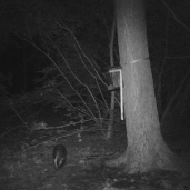 trailcam_08_badger_2