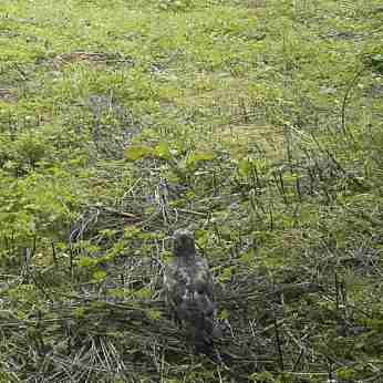 trailcam_12_buzzard_1