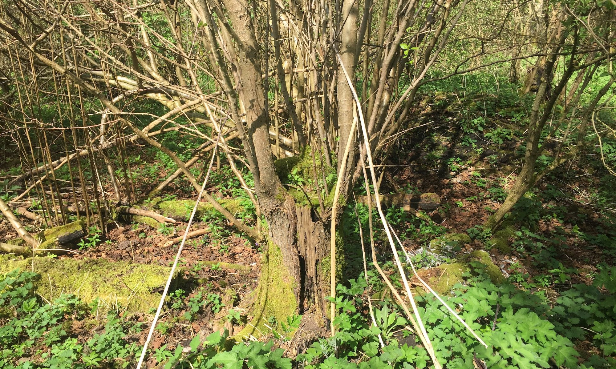Century Wood - notes from a Shropshire woodland